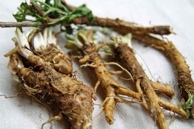 koren cikoriya - О полезных свойствах цикория и не только